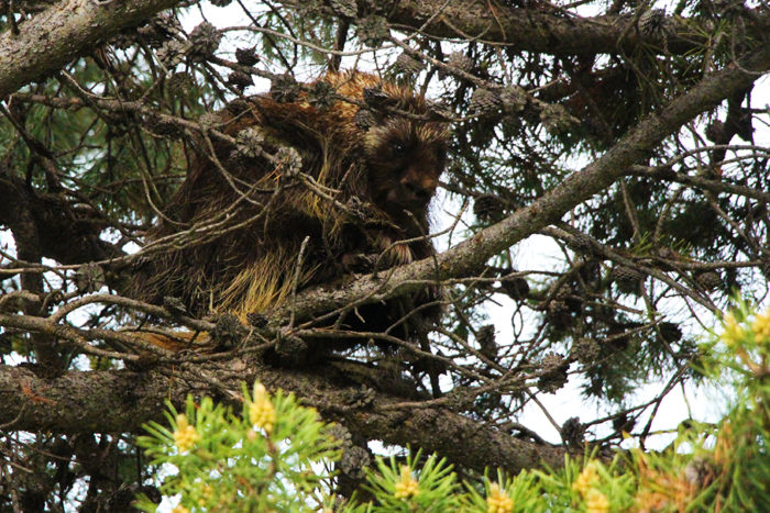 We didn't know porcupines climbed trees but this little guy was watching us from up high while we fished.