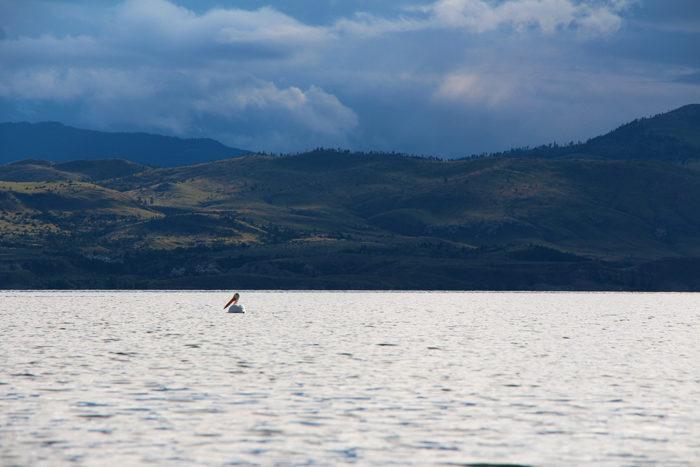 Pelican enjoying Canyon Ferry Lake Montana after a storm.