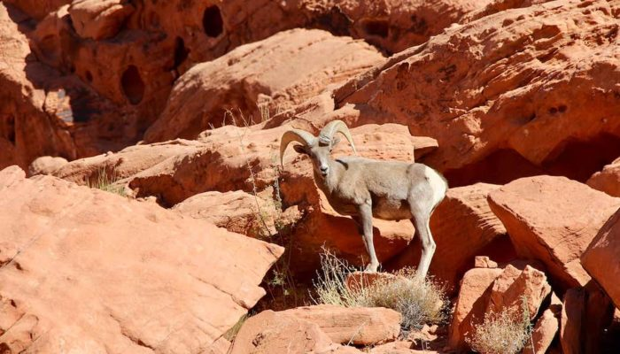 Big Horn Sheep hanging out in Valley of Fire State Park, Nevada.
