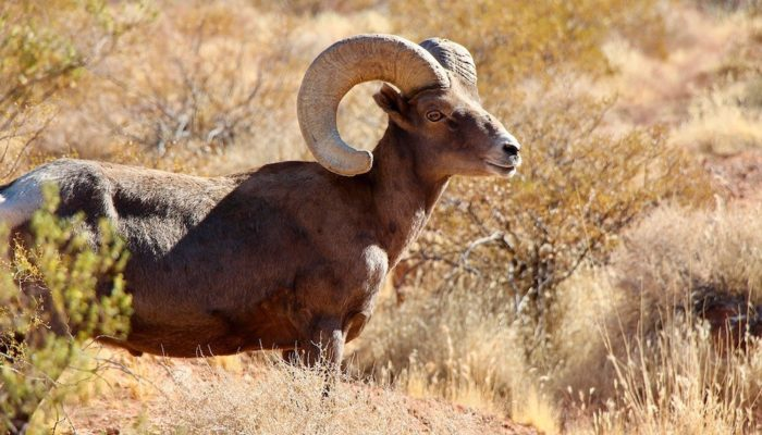 Bighorn Sheep right next to the road in Valley of Fire State Park, Nevada.